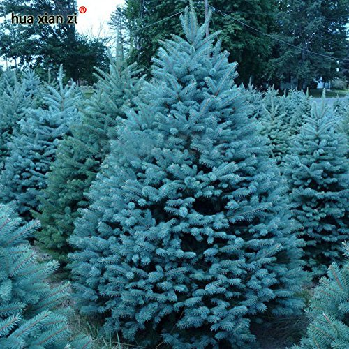 semillas-semillas-bonsai-azul-abeto-picea-pungens-arbol-de-hoja-perenne-100-particulas-bolsa