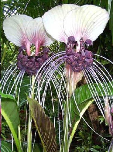 Tacca integrifolia, Fledermausblume, weisse/purpur, Bat plant, 10 frische Samen