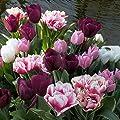 Frühe Tulpenmischung von Meingartenshop auf Du und dein Garten