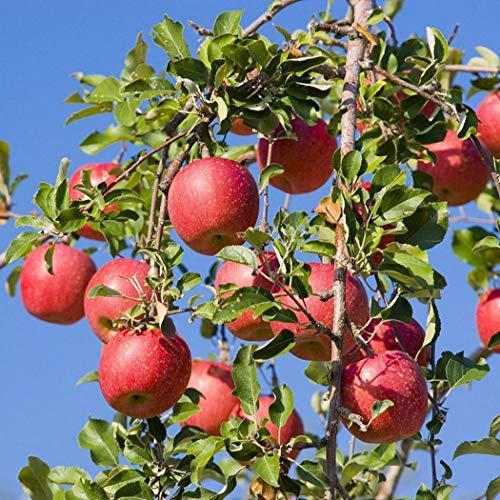Kisshes 20/50 Stück Apfel Samen Winterhart Bonsai Apfelbaum Obst Samen Mehrjährig Pflanzensamen Saatgut Garten Fruchtsamen Rot Apple Samen