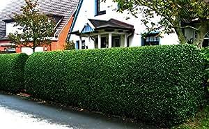 Liguster-Hecke. 20 Pflanzen ca. 50 cm mit festem Wurzelballen für 5-6 Meter Hecke - zu dem Artikel bekommen Sie gratis ein Paar Handschuhe für die Gartenarbeit dazu