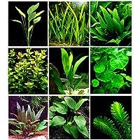 25vivir Acuario Plantas/9diferentes tipos–Amazon espadas, Anubias java, Fern, Limnophila y mucho más. Gran planta Sampler para 10–15Gal. mini-tanks.