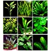 25 Live Aquarium Plants/9 Different Kinds - Amazon Swords, Anubias, Java Fern, Ludwigia and much more! Great plant… 8