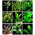 25 Live Aquarium Plants/9 Different Kinds - Amazon Swords, Anubias, Java Fern, Ludwigia and much more! Great plant… 10