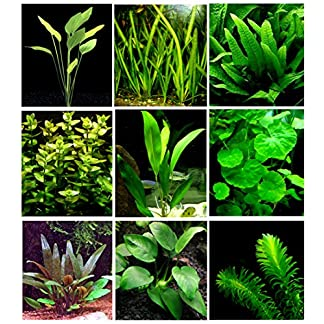 25 Live Aquarium Plants/9 Different Kinds - Amazon Swords, Anubias, Java Fern, Ludwigia and much more! Great plant… 24