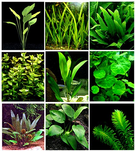 25 Live Aquarium Plants/9 Different Kinds - Amazon Swords, Anubias, Java Fern, Ludwigia and much more! Great plant… 1