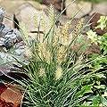Pennisetum alopecuroides 'Little Honey' (Ziergras/Gräser/Stauden) Lampenputzergras ab 3,19 pro Stück von Stauden Gänge - Du und dein Garten