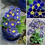 Portal Cool Tipo 12: Grow In Winter Pianta da fiore rara Helleborus Seeds For Home Garden Btl8
