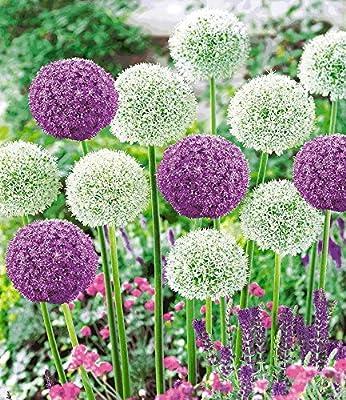 BALDUR-Garten Riesen-Allium-DUO Zierlauch Ambassador und Mount Everest,3 Zwiebeln von Baldur-Garten bei Du und dein Garten