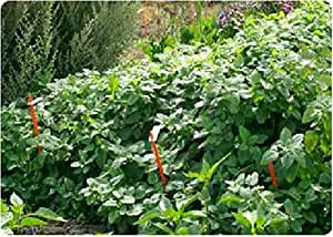 Just Seed - Herb - Lemon Balm - Melissa officinalis - 3000 Seeds