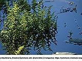Sumpf-Lappenfarn / Thelypteris palustris im 9x9 cm Topf