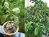 ScoutSeed 20 pz semi di nespola nano albero bonsai colore del vino frutta casa giardinaggio pentola all'aperto