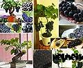 5x Zimmer Trauben Kernen Samen Schwarze Traube Baum Samen Obst Bonsai Zimmerpflanze Neuheit #422 von Samenhandel Ipsa Import und Handel bei Du und dein Garten