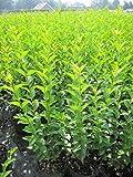 Ligustrum ovalifolium - Ovalblättriger Liguster - wintergrüner Liguster -