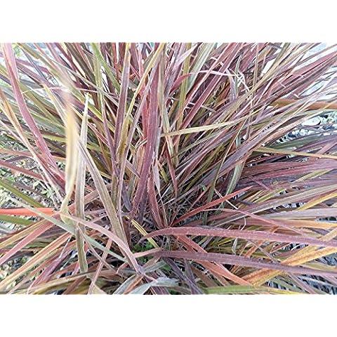 Dracaena Cordilina Pianta in vaso di Dracaena Cordilina - 10 Piante in vaso 7x7