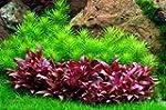 Wasserflora In-Vitro Mini-Papageienbl...