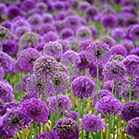 HVdsyf Happy Planting, 40 Pcs Purple Giant Allium Seeds Giganteum Onion Flower Planting Garden Decor