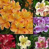 WuWxiuzhzhuo - 100 Semillas de Alstroemeria de Lirio, Varios Colores, Flores para Decoración del Jardín