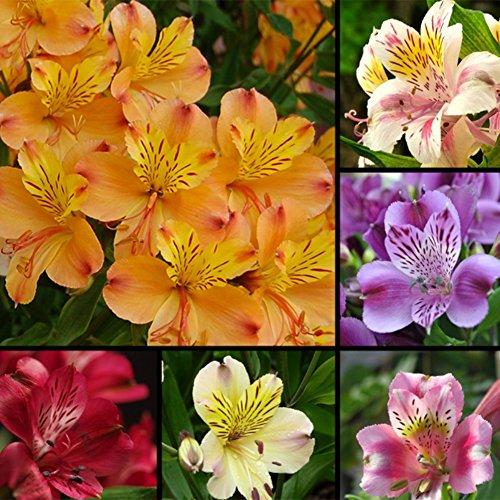 WuWxiuzhzhuo 100pz Alstroemeria Lily semi, mescolare colori fiori Home Plant Garden Decor 1