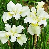 1x Iris rizoma Plantas vivas Flor Iris Plantas naturales Jardin flores Iris bulbo Sibirica White Swirl