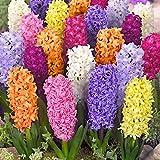 Hyazinthen Hyazinthenzwiebeln Blumenzwiebeln Mix 10 Stück zwiebeln