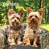 Yorkshire Terriers International - Yorkshire Terrier 2019 - 18-Monatskalender mit freier DogDays-App (Wall-Kalender)
