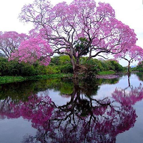 Pinkdose 200 Stücke Beste Paulownia Kaiserin Baum Romantische Blume Großes Aroma schnell wachsende Heiße 2016 Freies Verschiffen