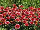 Rote Kokardenblume 30 Samen - Gaillardia 'Burgunder'