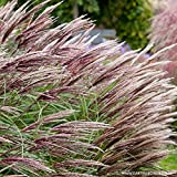 Garten-Chinaschilf Red Chief - Miscanthus sinensis - Im 3 Liter Container - Qualitätspflanze von Garten Schlüter