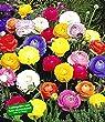 BALDUR-Garten Gefüllte Ranunkeln, 30 Stück Blumenzwiebeln