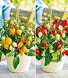 """BALDUR-Garten Topf-Tomaten""""Funnyplums®"""" F1 Kollektion rot und gelb, 4 Pflanzen für Balkonkasten und Töpfe"""