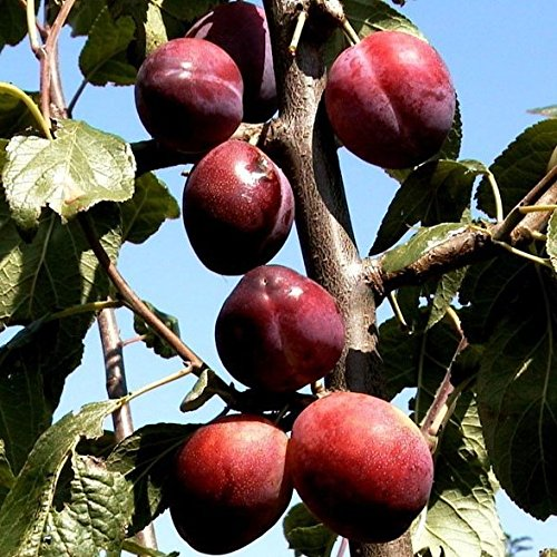 Königin Viktoria Pflaume, Pflaumenbaum Buschbaum 120-150 cm 10 Liter Topf, Unterlage: St. Julien A