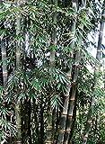 Asklepios-seeds - 250 Samen Riesenbambus Dendrocalamus strictus/Kalkuttabambus, schnellwachsend