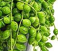 Dehner Erbsenpflanze Perlenschnur, hängender Wuchs, ca. 30-35 cm, Ø Topf 14 cm, Zimmerpflanze von Dehner bei Du und dein Garten