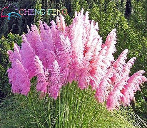 Nouveaux rares Graines Pampas pourpre Herbe ornementale Fleurs plantes Cortaderia Selloana Herbe Graines 100pcs / bag