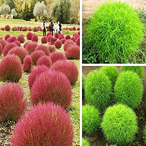 Yongse 100pcs Garden Kochia scoparia Semi Annual Herb fogliame delle piante