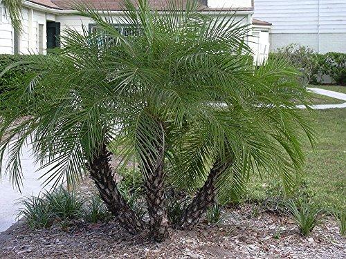 500 Samen Zwerg-Dattelpalme -Phoenix roebelinii- -Tolle Zimmerpflanze-