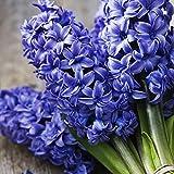 Yukio Samenhaus - Hyazinthenzwiebeln Delft Blue (Blue Jacket) 10/20/50/100 Stück Blumenzwiebeln Blumenmeer Bonsai Saatgut (100)