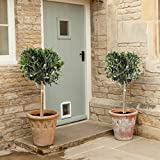 Pair of Hardy Standard Olive Tree (Set of 2) 1 tall (Garden & Outdoors)
