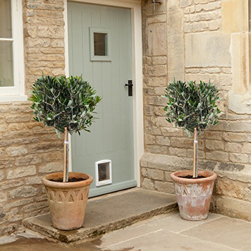 pair-of-hardy-standard-olive-tree-set-of-2-1-tall