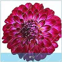 ZLKING 2pcs Semillas real de la dalia de los bulbos de flor de Bonsai bombillas no dalia planta perenne con bulbo en maceta Raíz para jardín 12