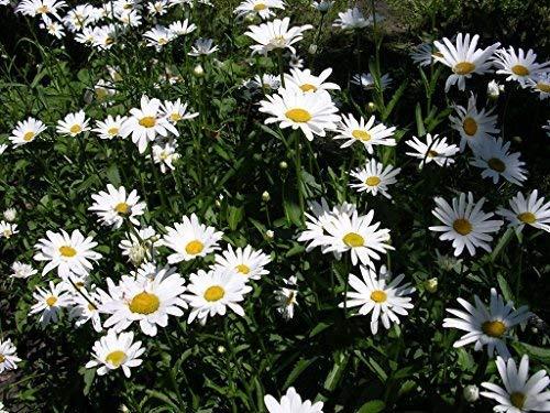 Seekay UK Einheimisch Magerwiesen-Margerite - Leucanthemum Vulgare - 6,000 Samen - Wildblumen