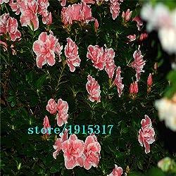 100 Samen 100% echte Mix-Farbe Azaleen - Rhododendron simsii Seeds - Bonsai Blume Pflanzensamen