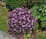 """Geranium-Bäumchen """"Madeira"""" 10 Samen (Geranium maderense), Madeira Storchschnabel"""