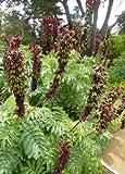 Tropica - Riesen - Honigbusch (Melianthus major) - 5 Samen