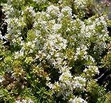 Thymus serpyllum Annabel Teppich-Thymian als Bodendecker