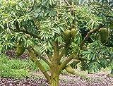 Semillas frescas para Cultivar Arbol Frutal de Guanabana produce Fruta de Graviola en Jardin Huerto o en Macetas en Casa - Germinacion 60% - 50 Semillas