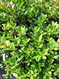 Löffel-Ilex Dark Green - Ilex crenata Dark Green