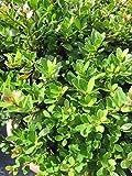 Löffel-Ilex Dark Green - Ilex crenata Dark Green Preis nach Größe 20-25 cm