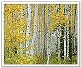 JP London poslt2195ustrip Lite Abnehmbare Wandtattoo Aufkleber Wandbild Golden Birch Forest Baumstämme, 24x 19.75-inch